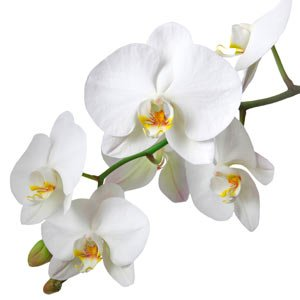 les orchid es edith magazine. Black Bedroom Furniture Sets. Home Design Ideas